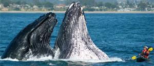 EUA alertam, e por pouco caiaque não é derrubado por baleias (Ag. AP)