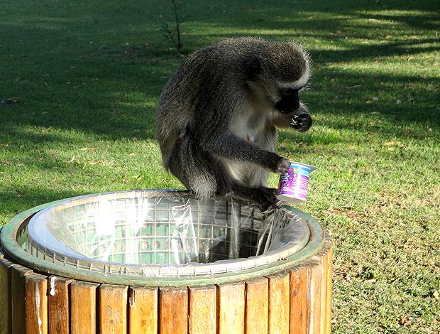 Macaco que vive no hotel Sun City em Rustemburgo