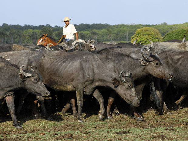 Búfalos são a grande atração de Soure, na Ilha de Marajó (Foto: Amor Eterno Amor/TV Globo)