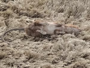 Rato enviado por Tereza Cristina fica caído no chão (Foto: Fina Estampa/TV Globo)