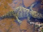 Jacaré com cerca de 25 quilos e mais de um metro é encontrado em Goiás