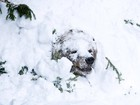 Urso-pardo atravessa &#39;paredo&#39; de neve aps hibernao na Finlndia