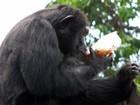 Chimpanzé Paulinho festeja 27 anos com almoço especial no Zoo do Rio