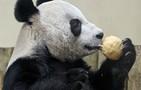 Panda ganha 'ceia' de Natal em zoológico (AP)