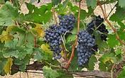 Produção vinícola transforma o Sertão (Produção vinícola se transforma em jóia do Sertão  (Katherine Coutinho/G1))