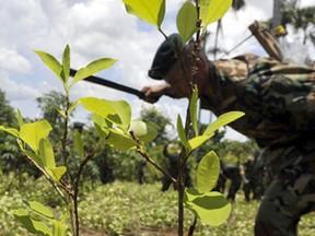 Oficial corta plantas de coca na região de Chimore, na sexta-feira (17) (Foto: AFP)