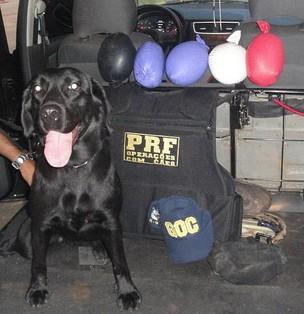 Cão farejador encontra drogas em MT (Foto: Divulgação/ Polícia Rodoviária Federal)