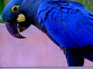 Arara azul de lear (Foto: Reprodução/ TV Sudoeste)