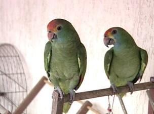 Pássaros Silvestres sul da Bahia (Foto: Reprodução TV Bahia)