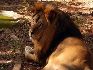 Leão solitário e depressivo está em zoológico desativo em Ivinhema (Foto: Divulgação/Ivinotícias)