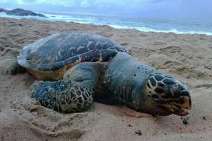 Tartaruga encontrada morta na praia do Rio Vermelho (Foto: Karlo Dias/ Arquivo pessoal)