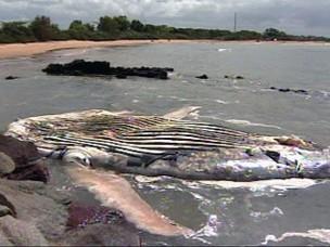 Mais uma baleia jubarte foi encontrada morta no Espírito Santo. O animal já está em adiantado estado de decomposição e foi levado pelo mar até a Barra do Riacho, em Aracruz, município do Norte do Estado. Segundo o Instituto Orca, já é a sexta baleia jubar (Foto: Reprodução/TV Gazeta)