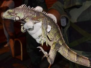 Iguana invadiu casa e assustou moradora na Grande João Pessoa (Foto: Walter Paparazzo/G1 PB)