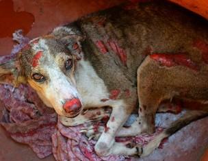O animal perdeu parte da orelha durante o incidente (Foto: Marina Souza/G1)