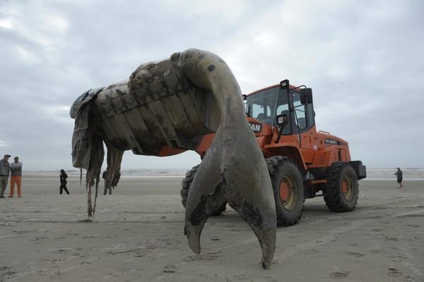 Um filhote de baleia franca encontrado na madrugada de quarta-feira (10) na praia Guarani, zona norte de Capão da Canoa, foi retirado durante a manhã (Foto: Ronaldo Bernardi/Agência RBS)