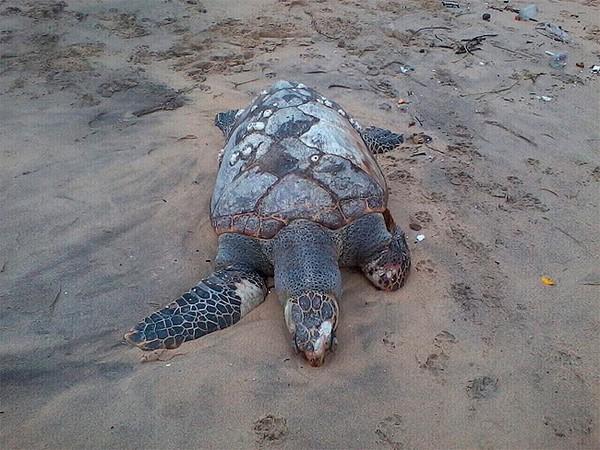 Tartaruga é encontrada morta na praia de Ondina (Foto: Adriana Oliveira/TV Bahia)