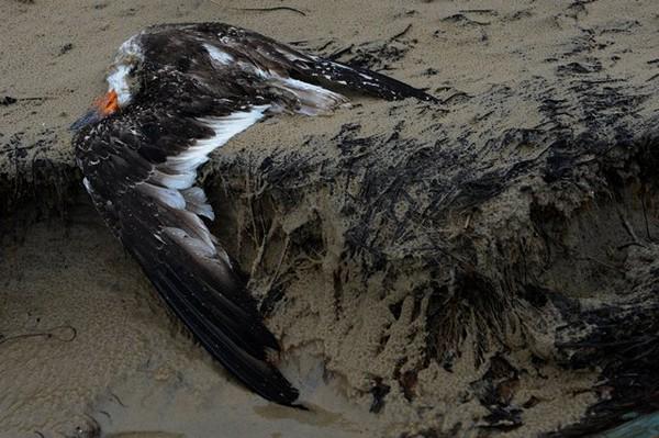 ave morta tramandaí (Foto: Adriana Franciosi/Agência RBS)