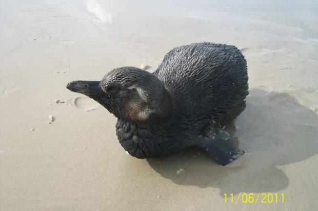 [Colaborativo](26574)pinguim em boraceia litoral norte-0 (Foto: Denise Bramante Contieri / VC no G1)