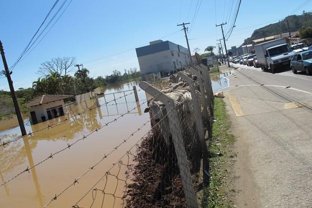Em Itajaí, os bois ficaram presos por três dias em um pedaço de cerca de um metro do que restou de terra firme. Não havia como retirar os animais (Foto: Rosanne D'Agostino/G1)