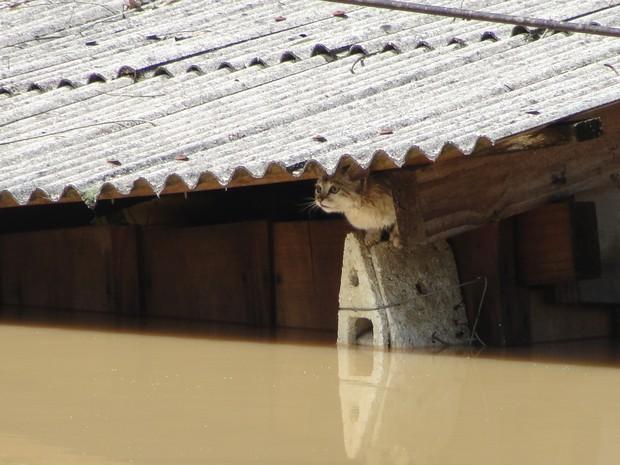 Nas enchentes em Rio do Sul, por pouco o gato escapou. Pouco depois de se abrigar, a água parou de subir em Rio do Sul (Foto: Erivelton Custório/Colaboração G1/Rio do Sul)