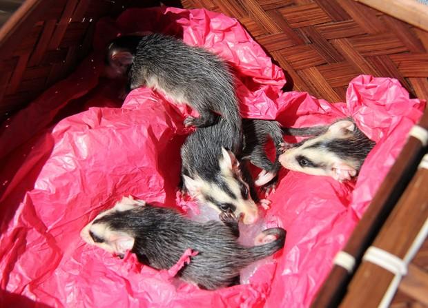 Gambazinhos foram entregues a uma ONG protetora dos animais (Foto: Marielise Ferreira/Agência RBS)