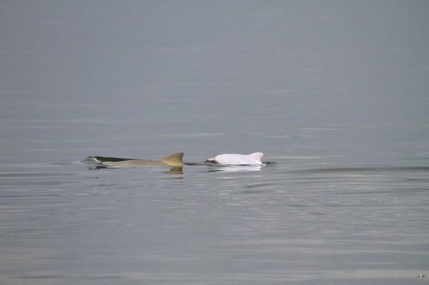 Golfinho albino foi registrado no litoral de Santa Catarina (Foto: Divulgação/Projeto Toninhas)