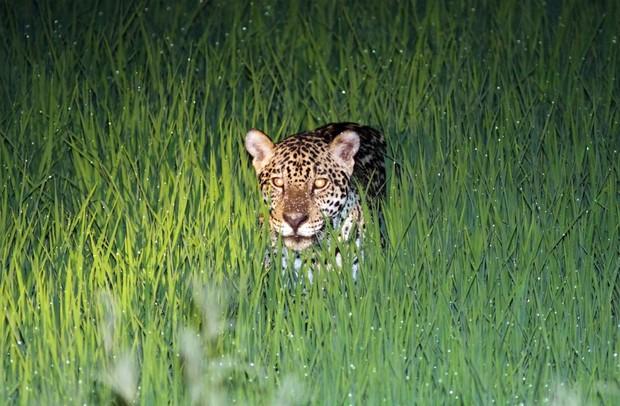 Onça caçando alimento na plantação de arroz (Foto: Beth Coelho/Divulgação)