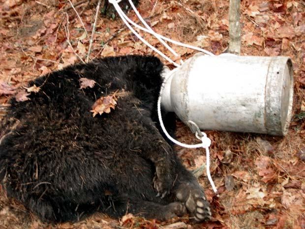 Urso sofreu por seis horas com garrafa na cabeça