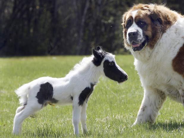 Cavalo minúsculo é menor do que um cachorro da raça São Bernardo.