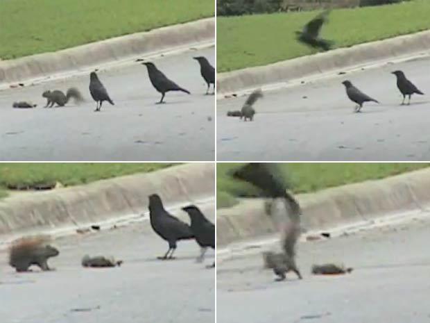 Esquilo foi flagrado lutando contra corvos para proteger colega morto.