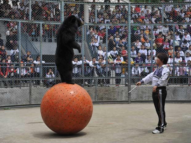 Um urso que consegue ficar em pé em cima de uma bola é uma das principais atrações de um zoológico em Fuzhou, na província de Fujian (China.). Os turistas ficam maravilhados com o equilíbrio demonstrado pelo animal.