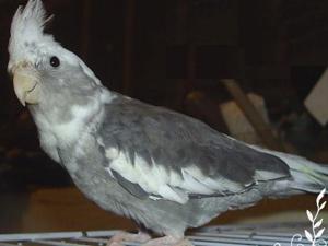 Clopsita