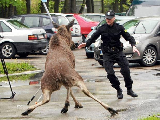 Policial tenta pegar um alce que invadiu uma área residencial perto de Lublin, na Polônia, atrapalhando o trânsito. Depois de uma perseguição, o animal foi capturado e solto na floresta.