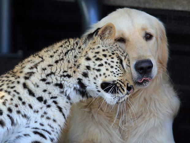 Leopardo e cão mantêm amizade inusitada na África do Sul.