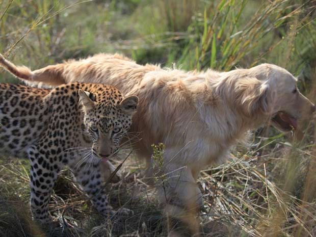 O leopardo 'Salati' e o cachorro 'Tommy' estão sempre juntos.