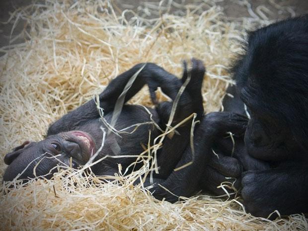Para a primatologista Sue Savage-Rumbaugh, não há dúvida: chimpanzés e bonobos podem ficar ainda mais humanos