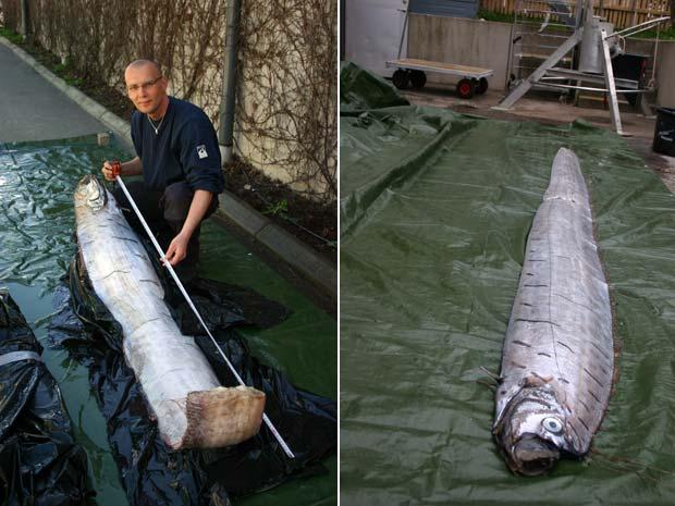 Peixe remo de 3,65 m que foi encontrado na Suécia.