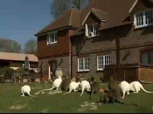 Wallabies são criados em Sussex, na Inglaterra