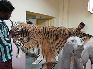 Traxidermistas preparam tigre para exposição.