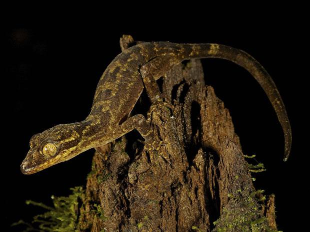 'Crytodactylus sp. nov.', nova espécie de lagarto localizado na Nova Guiné