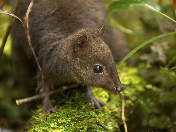 O 'Dorcopsulus sp. nov.', menor wallaby já descrito pela ciência