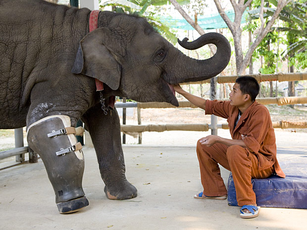 A elefanta Mosha é alimentada em um hospital de elefantes em Lampang, na  Tailândia.