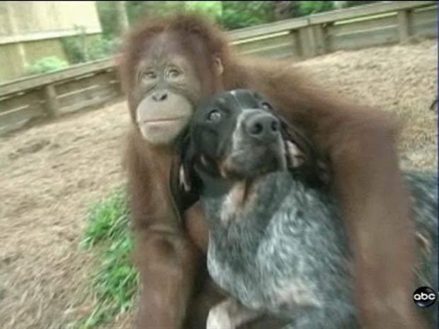 Orangotango 'Suryia' e vira-lata 'Roscoe' vivem em um centro de animais no estado da Carolina do Sul.