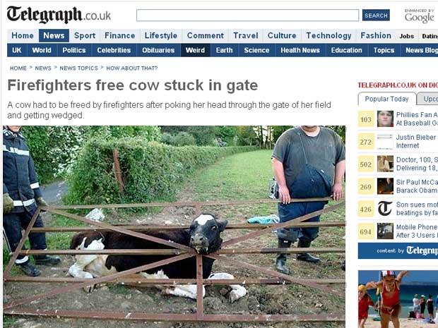Nervosa, vaca conseguiu derrubar a cerca de ferro
