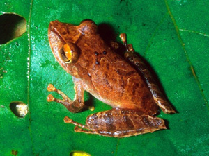 Pristimantis educatoris