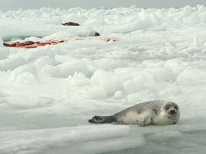 Golfo de St. Lawrence, no Canadá: foca nas proximidades da carcaça de animal caçado