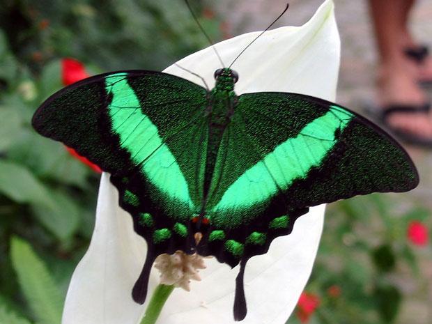 A Papilio blumei