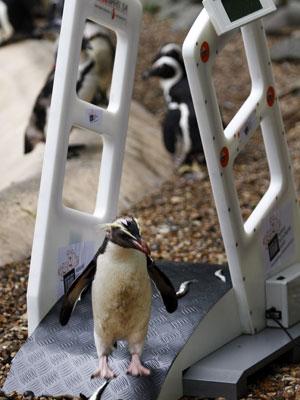 Pinguim passa por scanner em Zoo de Londres