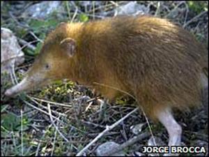 Especialistas consideram o 'Hispaniolan solenodon' um 'fóssil vivo'