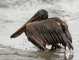 Com  vazamento, pelicano aparece coberto de óleo; veja fotos do dia (AP)
